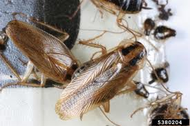 Cockroach-Control-Orting-WA