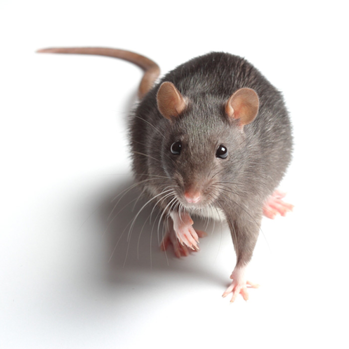 Mouse-Control-and-Extermination-Issaquah-wa