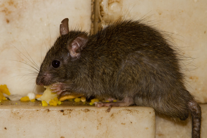 Mouse-Control-and-Extermination-covington-wa