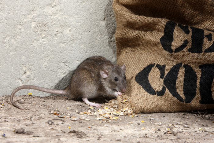 Rodent Control Gig harbor WA   Mouse Control Gig harbor