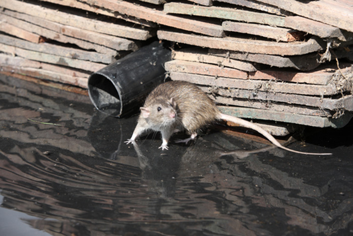 Rodent-Control-Services-Issaquah-wa