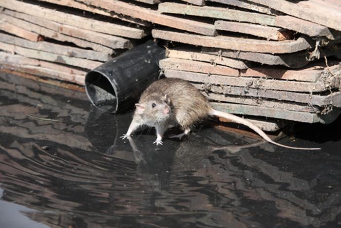 Rodent Control Lakewood WA   Mouse Control Lakewood   253