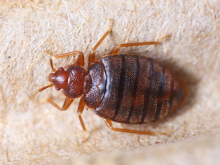 bed-bug-removal-bonney-lake-wa1