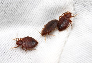 bed-bug-removal-burien-wa