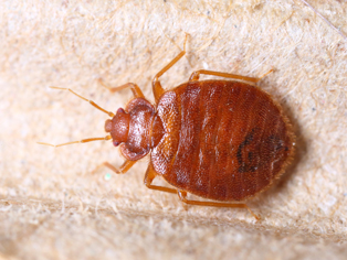 bed-bug-removal-kirkland-wa