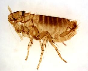 flea-removal-everett-wa